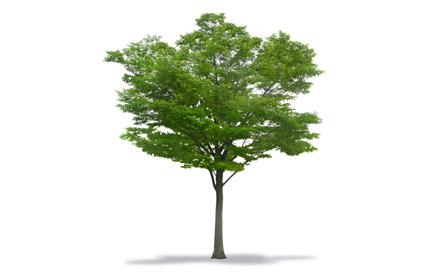 Especies de Árboles Ficha Técnica